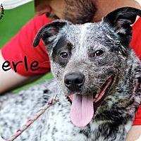 Adopt A Pet :: Merle - Joliet, IL