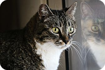 Abyssinian Cat for adoption in Palmdale, California - Sneakers