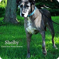 Adopt A Pet :: Shelby - Valparaiso, IN