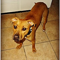 Boxer/American Staffordshire Terrier Mix Dog for adoption in Queen Creek, Arizona - Sparky