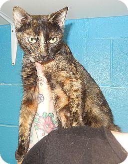 Domestic Shorthair Cat for adoption in Newport, North Carolina - Cindy