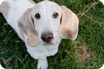 Basset Hound Dog for adoption in Salt Lake City, Utah - Jones (Little Man)