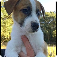 Great Pyrenees/Bernese Mountain Dog Mix Puppy for adoption in Boerne, Texas - Cosmo