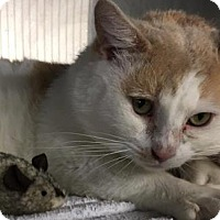 Adopt A Pet :: August-polydactyl - Voorhees, NJ