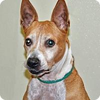 Labrador Retriever Mix Dog for adoption in Port Washington, New York - Faith