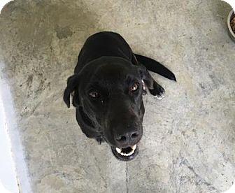Labrador Retriever Mix Dog for adoption in Paducah, Kentucky - Bannon