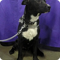Adopt A Pet :: Onyx - Foster Needed - Detroit, MI