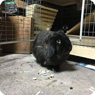 Lop, French Mix for adoption in Paradis, Louisiana - Tootsie Roll