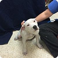 Adopt A Pet :: Baez - University Park, IL