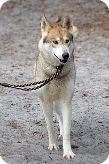 Husky Mix Dog for adoption in Orlando, Florida - Aspen