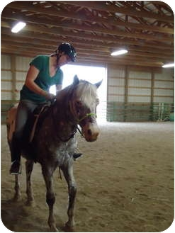 Appaloosa/Pony - of America Mix for adoption in Marengo, Ohio - Ash