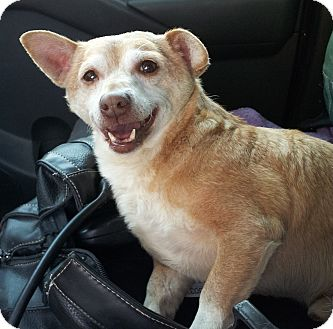 Chihuahua Mix Dog for adoption in San Diego, California - Calvin URGENT