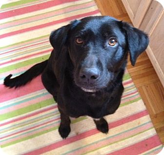 Labrador Retriever Mix Dog for adoption in Richmond, Virginia - Gabby