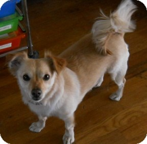 Jack Russell Terrier/Pomeranian Mix Dog for adoption in dewey, Arizona - Micah