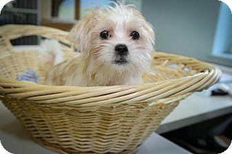 Jack Russell Terrier Mix Puppy for adoption in New York, New York - Jimmy