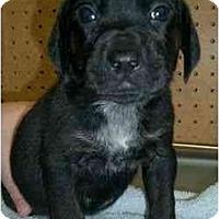 Adopt A Pet :: Donatello - Novi, MI