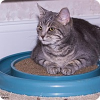 Domestic Shorthair Cat for adoption in Cincinnati, Ohio - Dovie