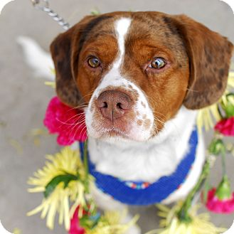 Spaniel (Unknown Type)/Beagle Mix Dog for adoption in Detroit, Michigan - Baxter-Foster needed!