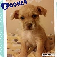 Adopt A Pet :: Boomer - Brea, CA