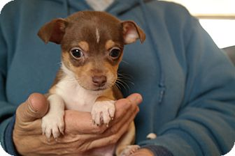 Jack Russell Terrier/Chihuahua Mix Puppy for adoption in San Pablo, California - TINY 3