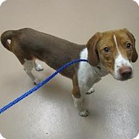 Adopt A Pet :: SADIE - Reno, NV