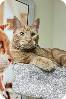 Domestic Shorthair Cat for adoption in Brooklyn, New York - Hero