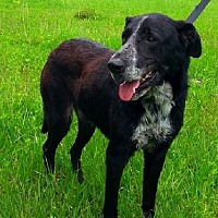 Labrador Retriever/Pointer Mix Dog for adoption in Huntington, New York - Abel - N