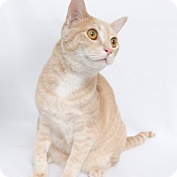 Domestic Shorthair Cat for adoption in Fort Collins, Colorado - Cricket
