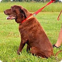 Labrador Retriever Mix Dog for adoption in DuQuoin, Illinois - Rocky