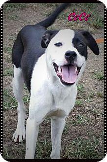 Labrador Retriever Mix Dog for adoption in Ahoskie, North Carolina - CeCe