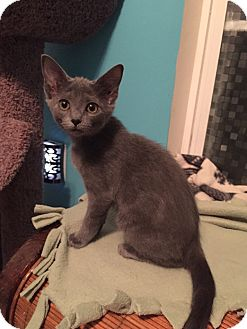 Russian Blue Kitten for adoption in Mooresville, North Carolina - A..  Sade