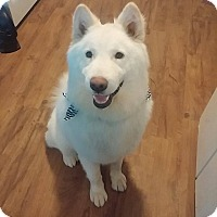 Alaskan Malamute Mix Dog for adoption in Enfield, Connecticut - Sherlock