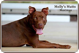 Pit Bull Terrier/Labrador Retriever Mix Dog for adoption in Dixon, Kentucky - Maximus