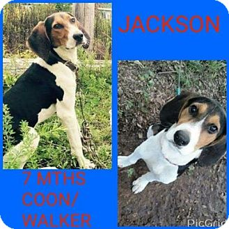 Coonhound/Treeing Walker Coonhound Mix Dog for adoption in Pomfret, Connecticut - JACKSON