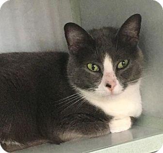 Domestic Shorthair Cat for adoption in Manteo, North Carolina - Daisy Mae