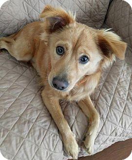 Spaniel (Unknown Type) Mix Puppy for adoption in Burlingame, California - Callen