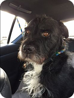 Schnauzer (Standard)/Terrier (Unknown Type, Medium) Mix Dog for adoption in Van Nuys, California - *URGENT* GEORGE