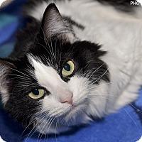Adopt A Pet :: Domino - Medina, OH