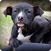 Adopt A Pet :: Dollbaby - Glastonbury, CT