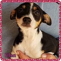 Rat Terrier/Australian Cattle Dog Mix Puppy for adoption in Ringwood, New Jersey - Ellen