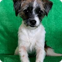 Adopt A Pet :: Sugar - Wichita, KS