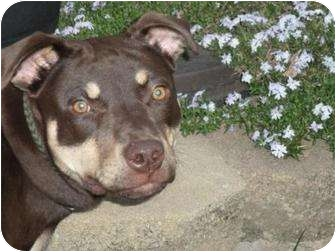 Reece | Adopted Dog | Albany, NY | Doberman Pinscher/Pit ...