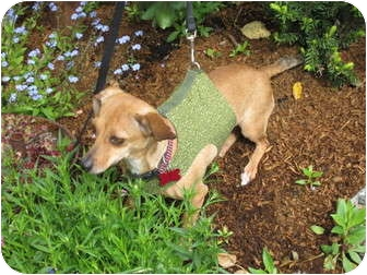 Dachshund Mix Dog for adoption in Portland, Oregon - BLOSSOM
