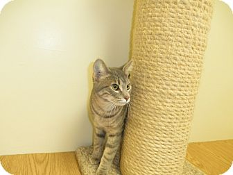 Domestic Shorthair Kitten for adoption in Milwaukee, Wisconsin - Jacob