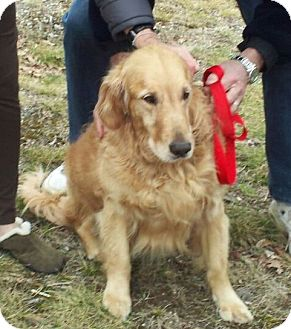 Golden Retriever Dog for adoption in Cheshire, Connecticut - Simba