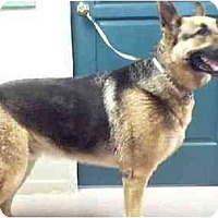 German Shepherd Dog Dog for adoption in Marina del Rey, California - Toby-Shep