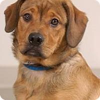 Adopt A Pet :: Beau - Hilliard, OH