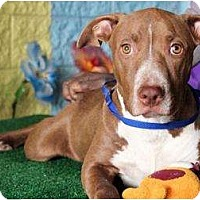 Adopt A Pet :: Cooper - Los Angeles, CA