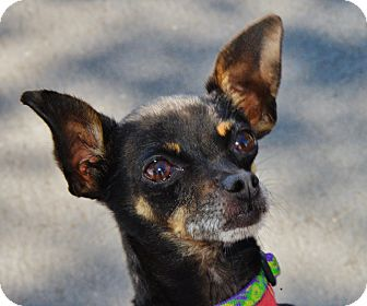 Chihuahua Dog for adoption in San Jose, California - Squeak