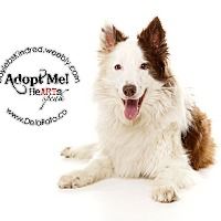 Adopt A Pet :: Indi - Denver, CO